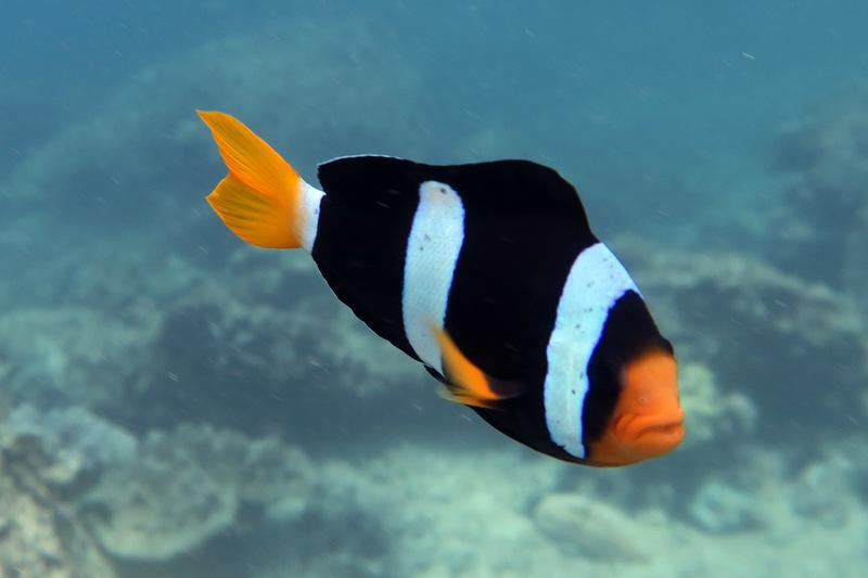 Анемон риф